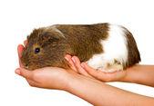 Guinea pig — Stock Photo