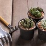 Three mini cactus in pots — Stock Photo #41267863