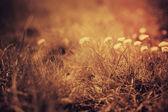 Wildflowers at sunset — Stock Photo