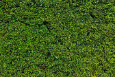 Hedge with green leafs — Stock Photo