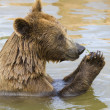 Bear Feeding - Stockfoto
