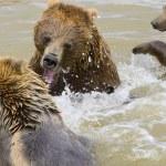Bears Fighting — Stock Photo