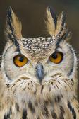 Eagle Owl Portrait — Stock Photo