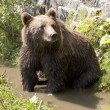 Wild Bear Cooling In Water — Stock Photo #21781615