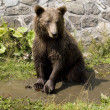 Wild Bear Cooling In Water — Stock Photo