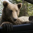 Wild Bear On My Car Window — Stock Photo