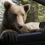 Wild Bear On My Car Window — Stock Photo