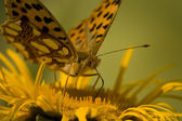 Butterfly Feeding On Yellow Flower — Stock Photo