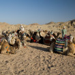 Camels Of The Beduins - Stock Photo