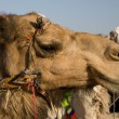 Royalty-Free Stock Photo: Camel Portrait