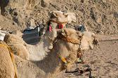 Camel Portrait — Stock Photo
