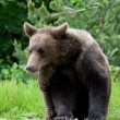 Wild Bear In The Forest — Stock Photo