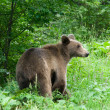 Wild Bear In The Forest — Stock fotografie