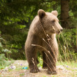 Wild Bear In The Forest - 图库照片