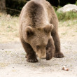 Wild Bear In The Forest - Stock fotografie