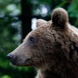 Wild Bear In The Forest - Stock Photo