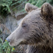 Wild Bear In The Forest — Stockfoto
