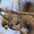 Red Squirrel — Stock Video