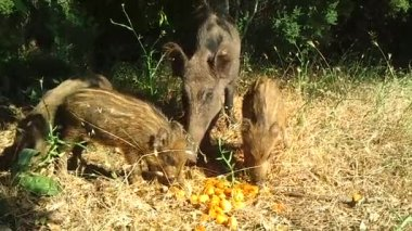 Wild Boars — Stock Video