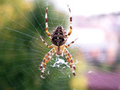 Spider on its web — Stock Photo