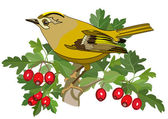 Goldcrest bird and hawthorn — Stock Vector