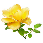 Yellow rose on a white background — Stock Photo