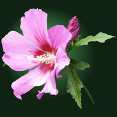 Pink mallow flower with a green background — Stock Photo