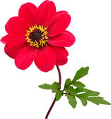 Red dahlia flower, isolated — Stockfoto