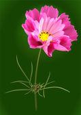 Pink cosmos flower — Stock Vector