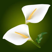 Two white Calla flowers — Stock Vector