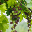 Ripening black grape — Stock Photo