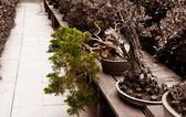 Tilted bonsai — Stock Photo