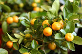 Tangerines on trees — Stock Photo