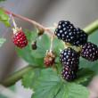 Stock Photo: Close-up of ripe blackberries