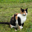 Beautiful calico cat in grass — Stock Photo #31812359