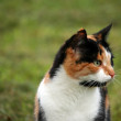 Beautiful calico cat in grass — Stock Photo #31812363