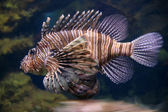Scorpion fish underwater close up — Stock Photo