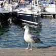 Young yellow legged gull( Larus michahellis ) — Stock Photo