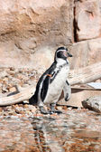 Humboldt penguin in a marineland — Stock fotografie