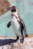 Humboldt penguin on a rock in a marineland — ストック写真