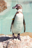 Humboldt penguin on a rock in a marineland — Stok fotoğraf