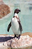 Humboldt penguin in a marineland — ストック写真