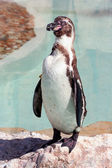 Humboldt penguin in a marineland — Стоковое фото