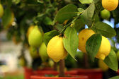Organic lemons on tree in the pot — Stock Photo