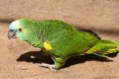 Beautiful green parrot — Stock Photo