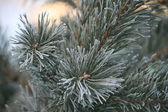 Twig of pine hoar-frost covered, soft focus — Foto de Stock