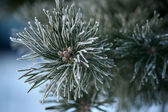 Twig of pine hoar-frost covered, soft focus — Stock fotografie