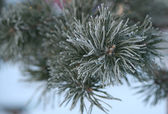 Twig of pine hoar-frost covered, soft focus — Photo
