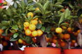Decorative tangerine trees in pots for sale — Stockfoto