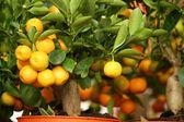 Decorative tangerine trees in pots for sale — Stock Photo